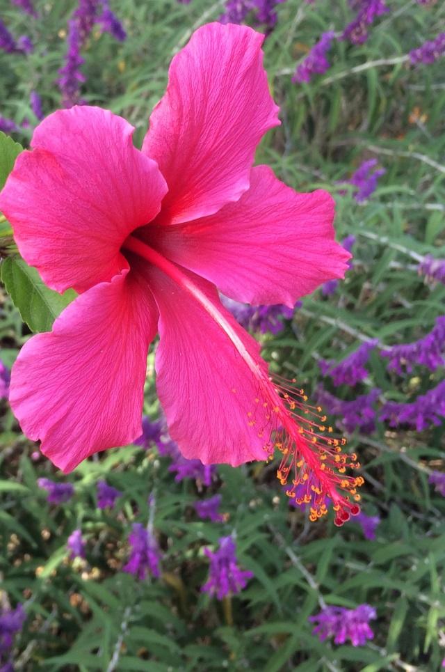 Pink Flower against Purple Lavender in Background